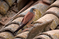 Lesser Kestrel (Falco nuamani)-Spain- Male- IUCN vulnerable spec