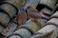 Lesser Kestrel (Falco naumanni) - Spain - IUCN Vulnerable