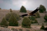 Griffon Vulture  Soaring (Gyps fulvus) - Spain