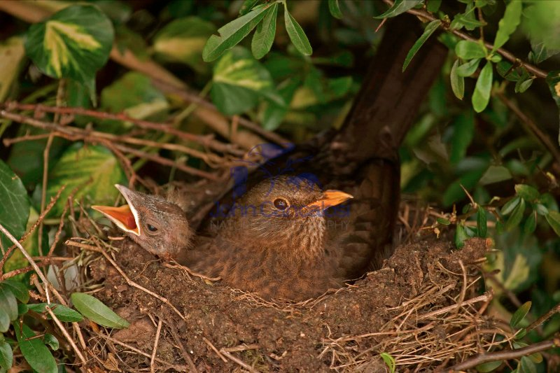 Blackbird (Turdus merula)-UK- Female on nest with nestlings