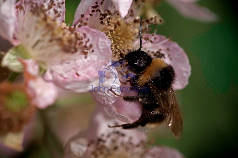 Bumble Bee (Bombus spp.) - England - UK