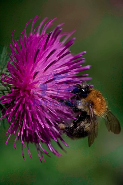 Carder Bee (Bombus spp) A type of bumble bee - England - UK