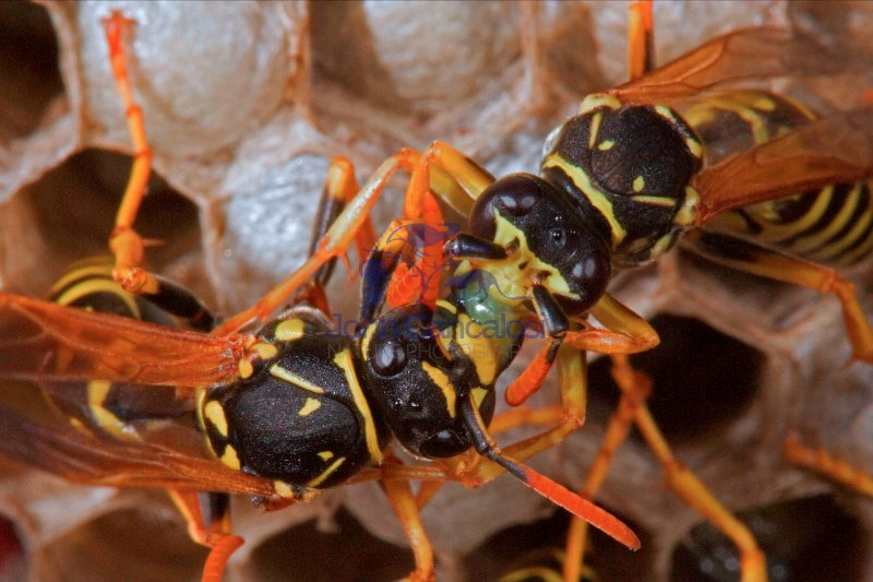 European Paper Wasps-(Polistes dominulus)-New York
