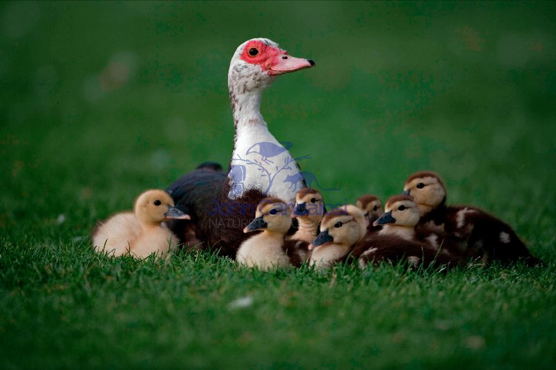 Muscovy Duck with Young (Cairina moschata) - England - UK