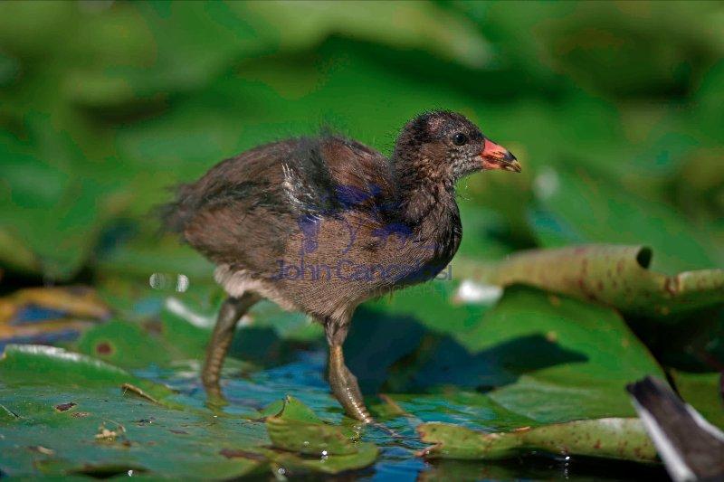 Moorhen (Gallinula chloropus) Young - England - UK