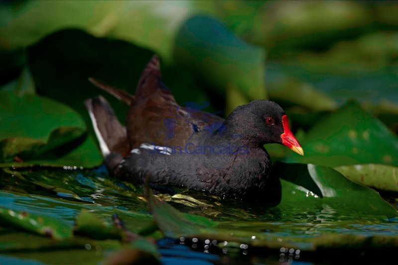 Moorhen (Gallinula chloropus) Swimming - England - UK