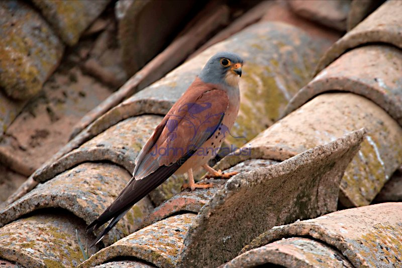 Lesser Kestrel (Falco nuamani)-Spain- Male- IUCN vulnerable spec