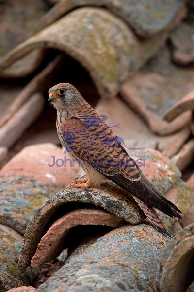 Lesser Kestrel (Falco naumanni) - Spain - IUCN Vulnerable