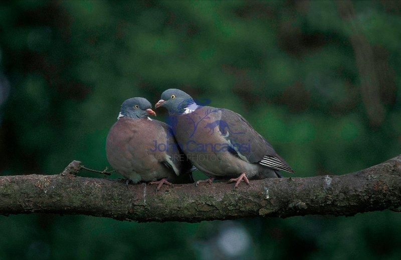 Wood Pigeons - England