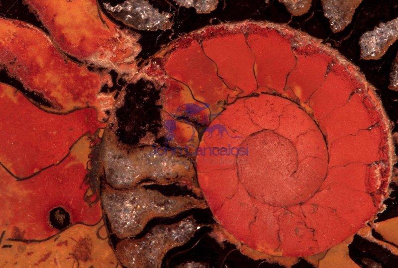 Fossil Ammonite  (Placenticeras spp) - Cretaceous - Morocco