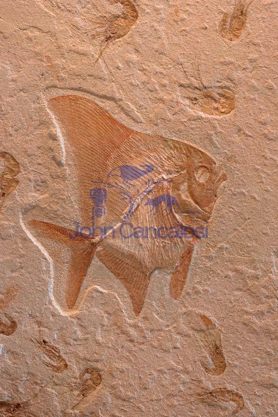 Fossil Fish (Tselvatia) with Shrimp (Carpopenaus) - Lebanon