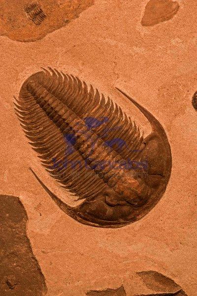 Trilobite Fossil - Russia