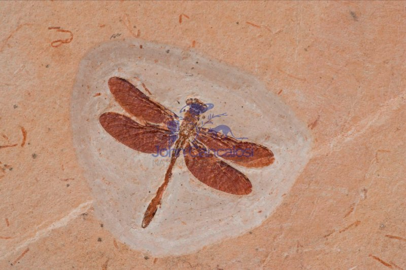 Dragonfly Fossil - Brazil