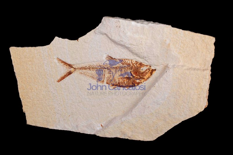 Fossil fish - (Diplomystus dentatus) Green river formation-Eocen