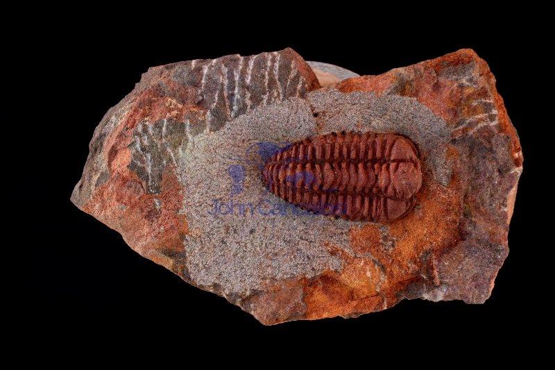 Fossil Trilobite (Placoparia) - Morocco