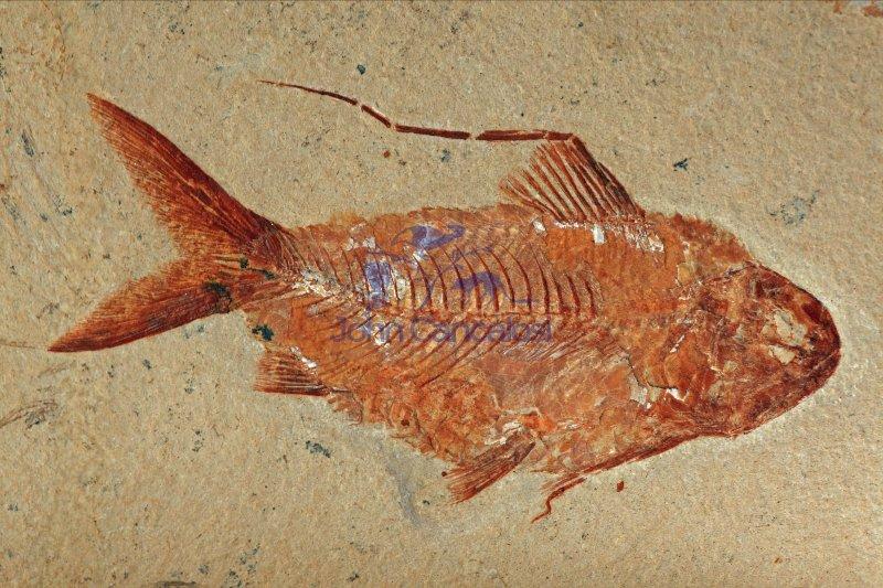 Fossil Fish (Nematonotus longispinus) - Lebanon