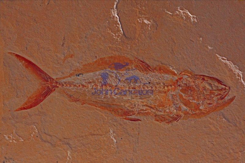 Fossil fish - Halec sp. - Lebanon - Cretaceous