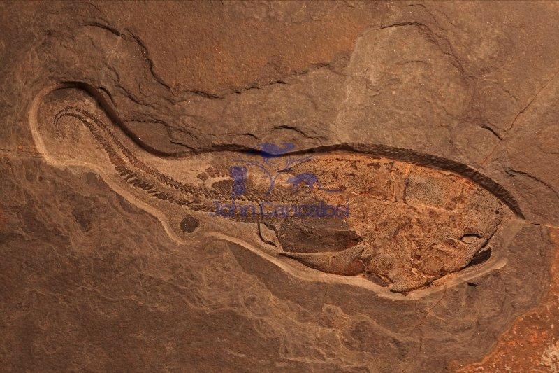 Fossil Fish - Pterichthodes milleri - placoderm - Mid Devonian -