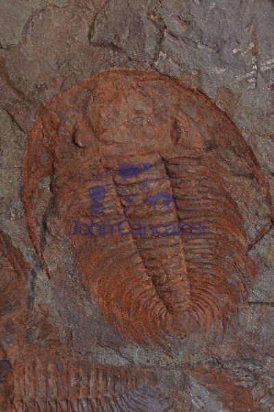 Fossil Trilobite - Paradoxoides sp. - Cambrian - Morocco
