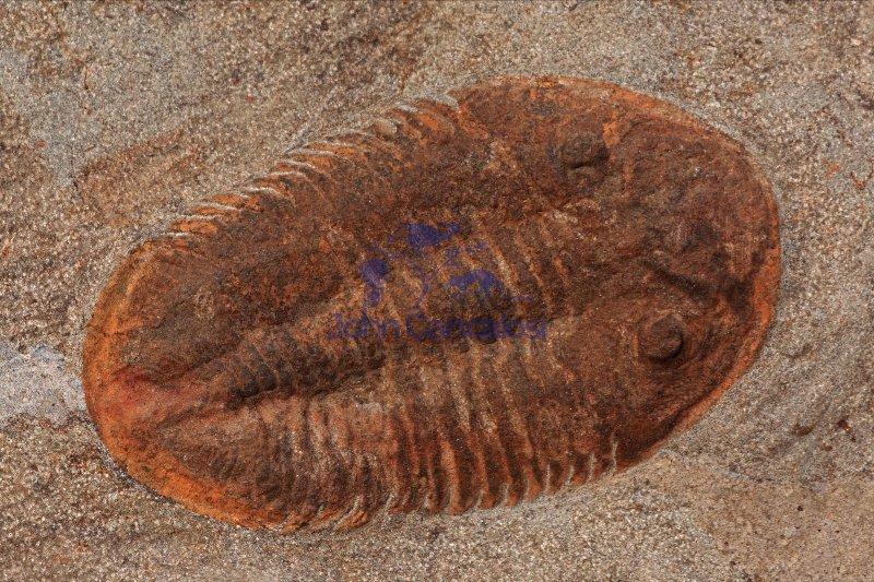 Fossil Trilobite - Morocco