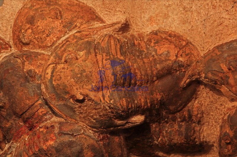 Fossil Trilobites - Asaphid sp. - Ordovician - Morocco