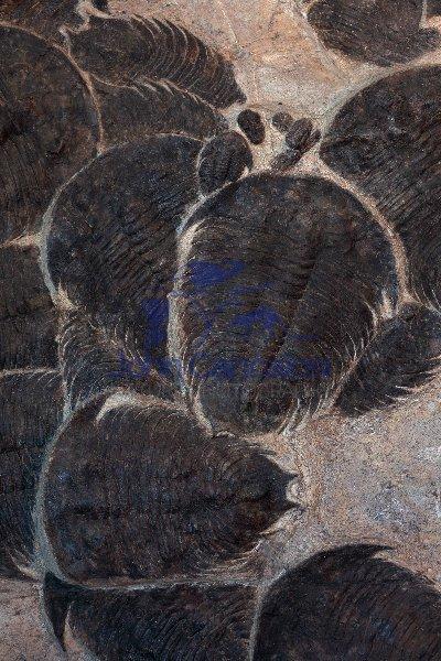 Fossil Trilobites - Morocco
