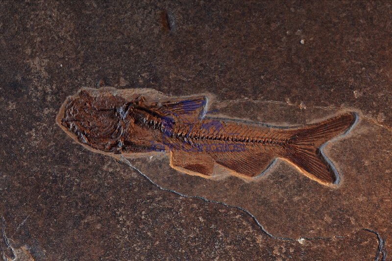 Fossil Catfish - Astephus antiguis - Eocene - Germany