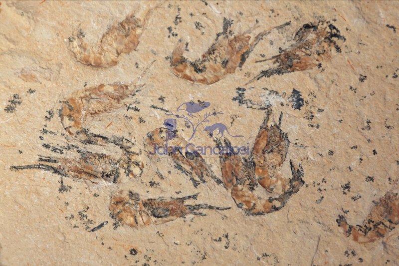 Fossil Shrimp - Carpopaeneus callirostris - Cretaceous - Lebanon