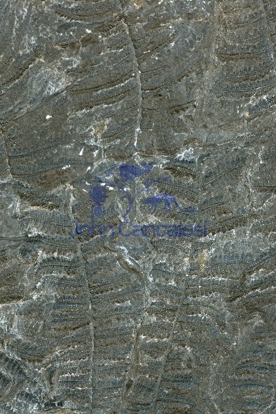 Fossil Fern - Pecopteris sp. - Carboniferous - Germany