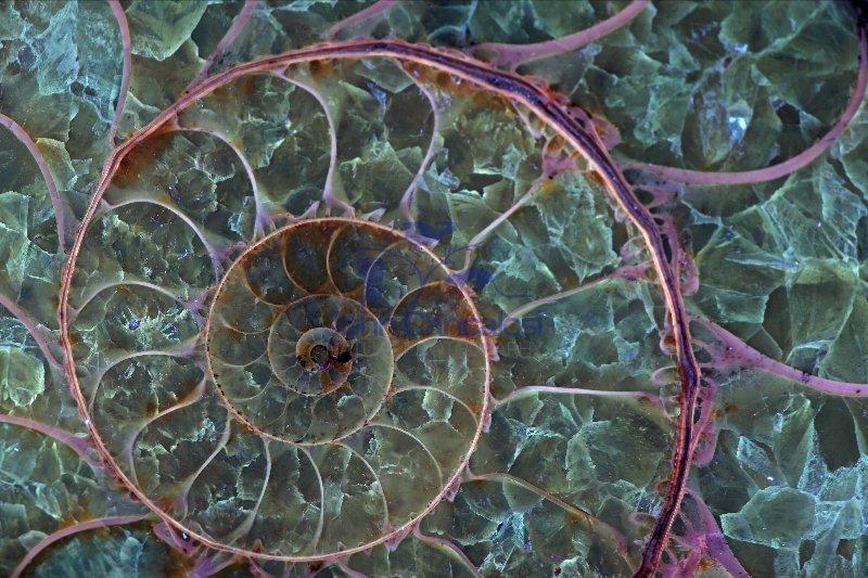 Fossil ammonite- Desmoceras spp. - Cretaceous - Madagascar