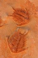 Fossil Trilobites - Zagoura Morocco