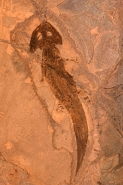 Fossil Amphibian - Actinodon - Germany