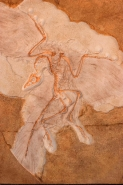 Fossil Bird Archaeopteryx Cast - Original specimen in Berlin-Ger
