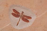 Dragonfly Fossil - Brazil
