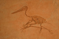 Pterodactyl Fossil- Germany