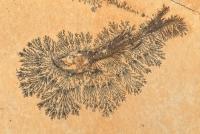Fossil Fish (Leptolepides sprattiformis) - Jurassic - Germany