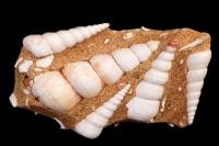 Fossil Sea snail (marine gastropod) - Turritella terebra - Franc