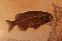 Fossil fish - Phareodus - Green River formation - Wyoming
