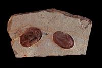Fossil Trilobite (Lanacus) - Morocco