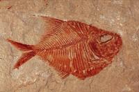 Fossil fish- Diplomystus sp.- Lebanon - Cenozoic era