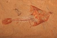 Fossil fish - Coccodus insignis - Cretaceous - Lebanon