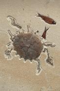Fossil Softshell Turtle - Green River Formation - Eocene -  Wyom