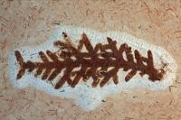 Fossil Plant (unidentified) - Santana Formation - Brazil