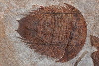 Fossil Trilobite - Dikelokephalina - Ordovician - Morocco