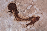 Fossil Catfish - Green River Formation - Eocene - Wyoming