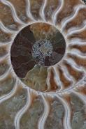 Fossil Ammonite - Cleoniceras sp. - Cretaceous - Madagascar