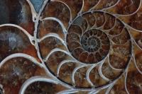 Fossil Ammonite - Desmoceras sp. - Upper Cretaceous - Madagascar