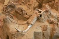 Columbian Mammoth Fossil (Mammuthus columbi) - USA