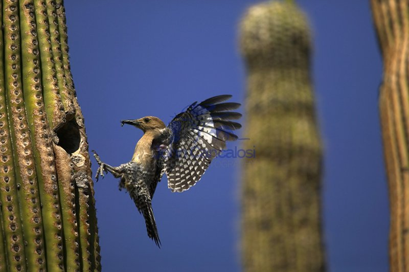 Gila Woodpecker(s) at Nest in Saguaro Cactus