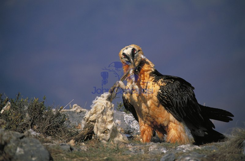 Bearded Vulture or Lammergeier (Gypaetus barbatus) - Spain